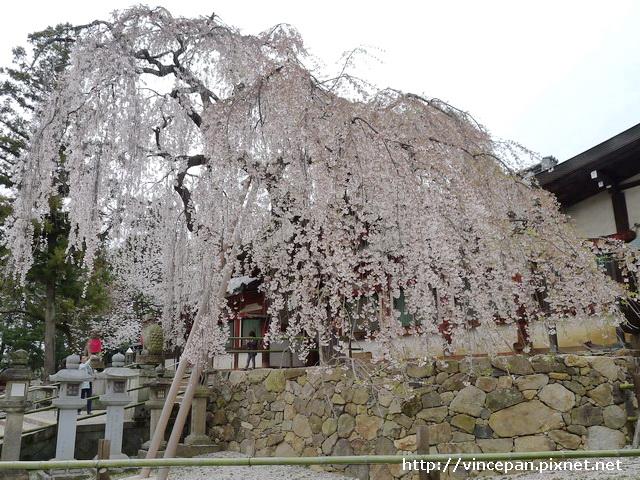 冰室神社 一番櫻 側面