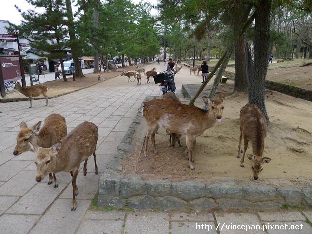 奈良 鹿群 1