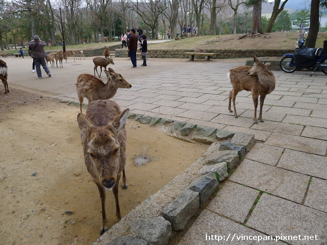 奈良 鹿群2