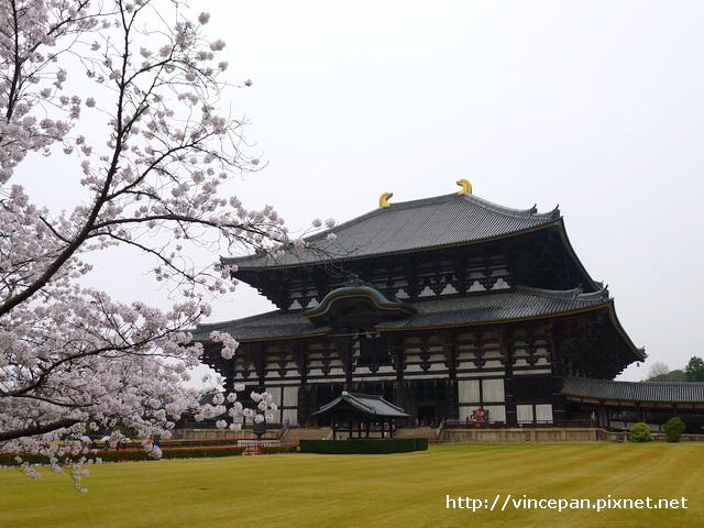 大佛殿 櫻花2