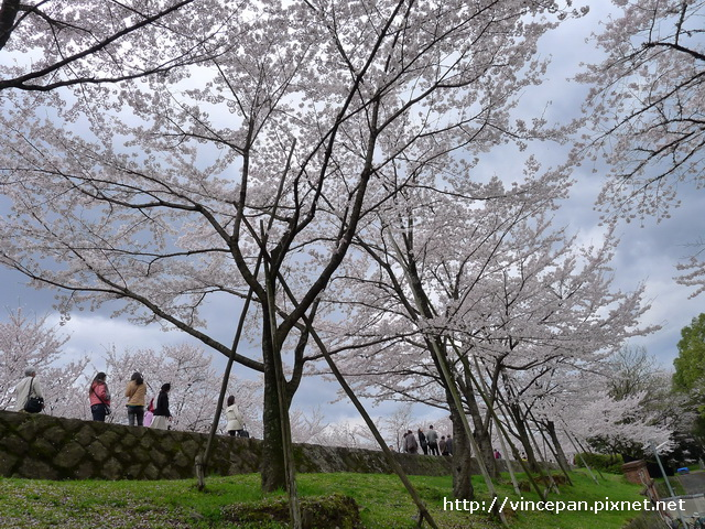 上方的遊客與櫻花