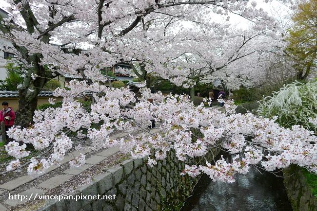 哲學之道櫻花4