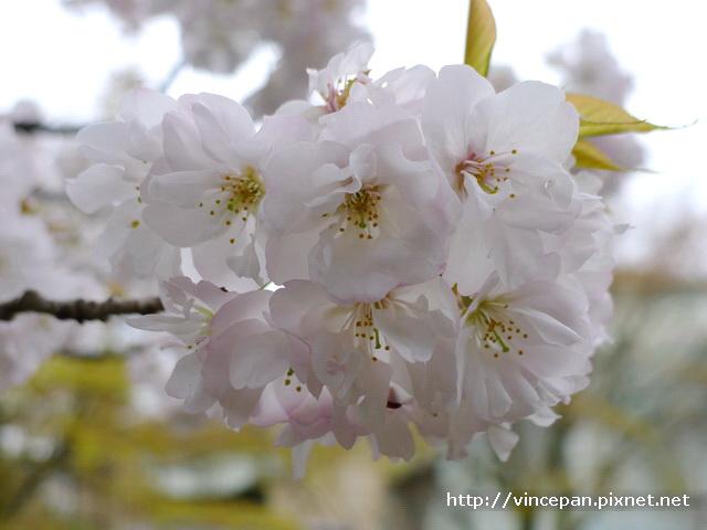 哲學之道櫻花 近拍