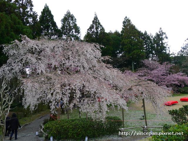 憲深林苑 櫻花1