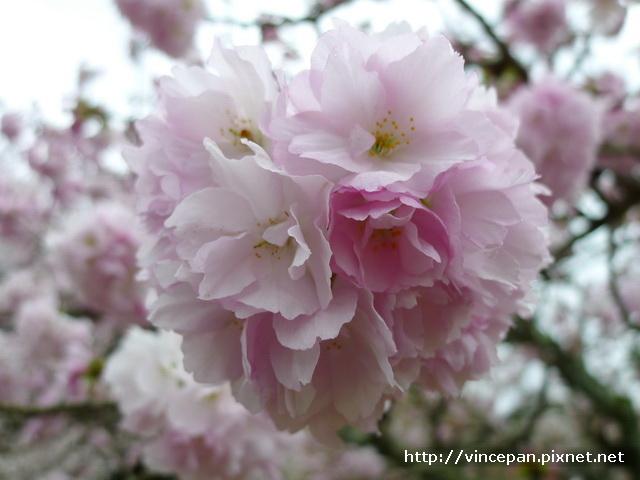 醍醐寺 靈寶館 繡球櫻2