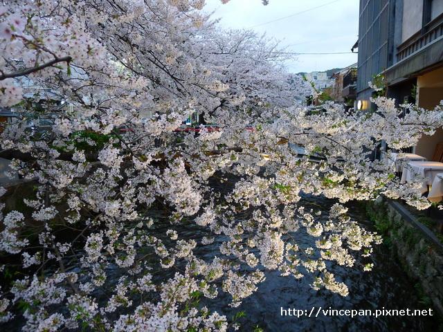 櫻花 河上1