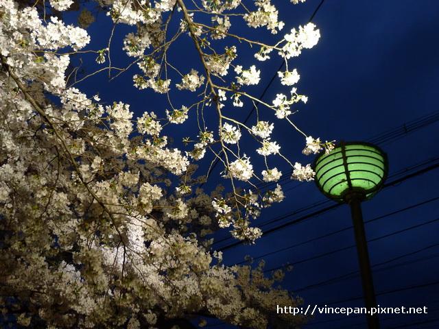 白川 櫻花 路燈