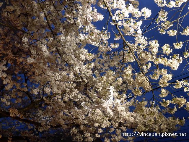白川 櫻花 天空