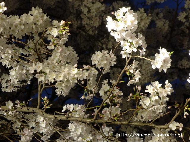 白川 櫻花  近拍