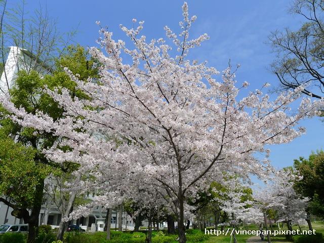 大阪城公園 櫻花1
