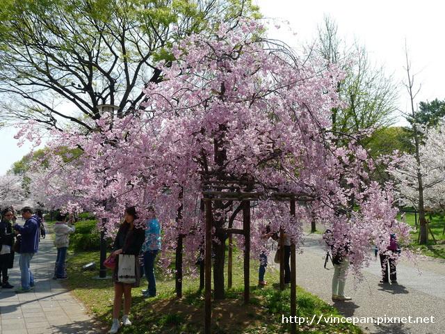 大阪城公園 櫻花2