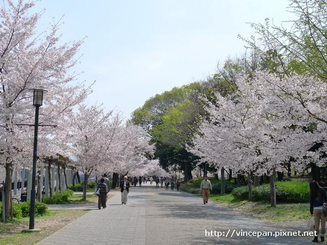 大阪城公園 櫻花3