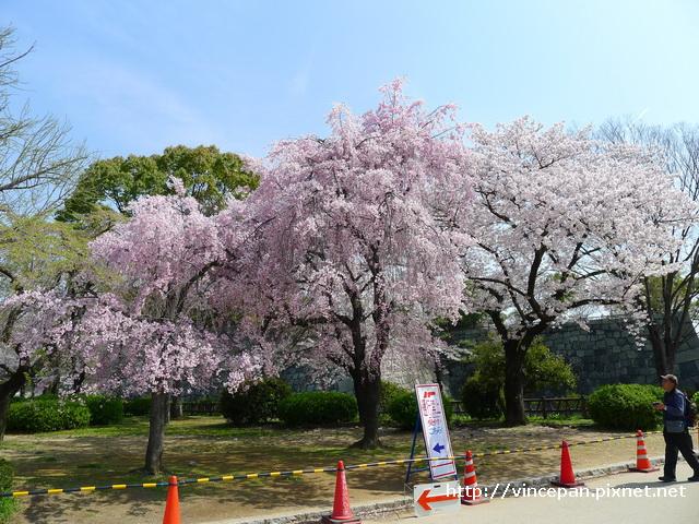西之丸庭園前 枝垂櫻