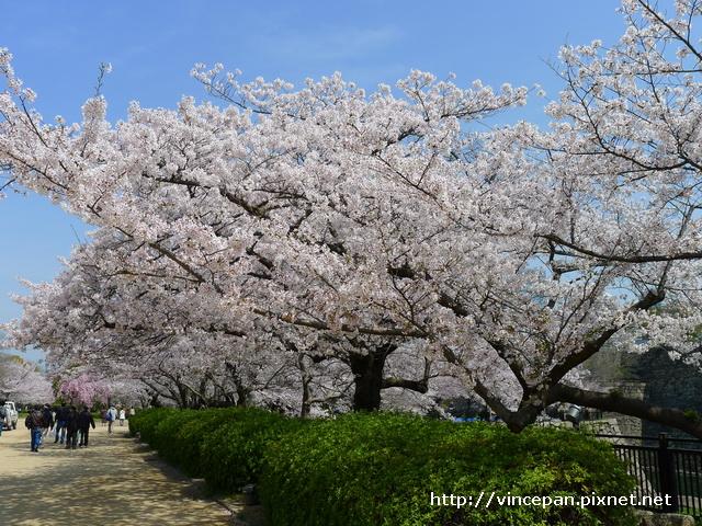 櫻花 入口