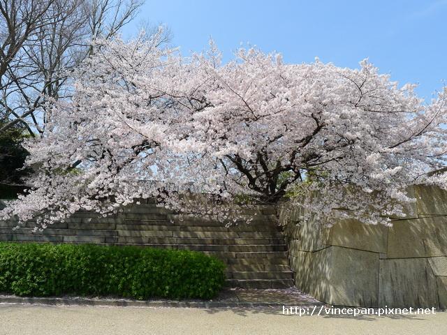 櫻花 巨石