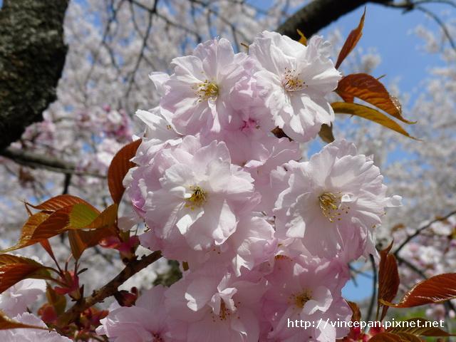 櫻花 近拍