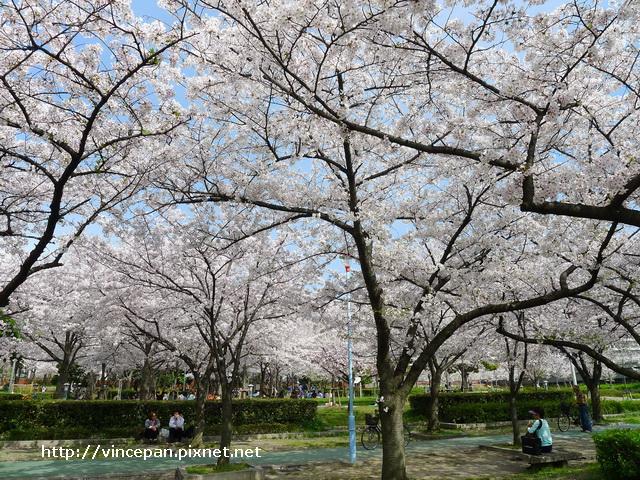 櫻花  櫻之宮