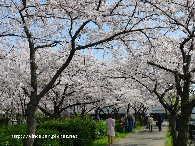 河岸櫻花步道  女生2