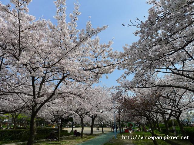 櫻花  櫻之宮3