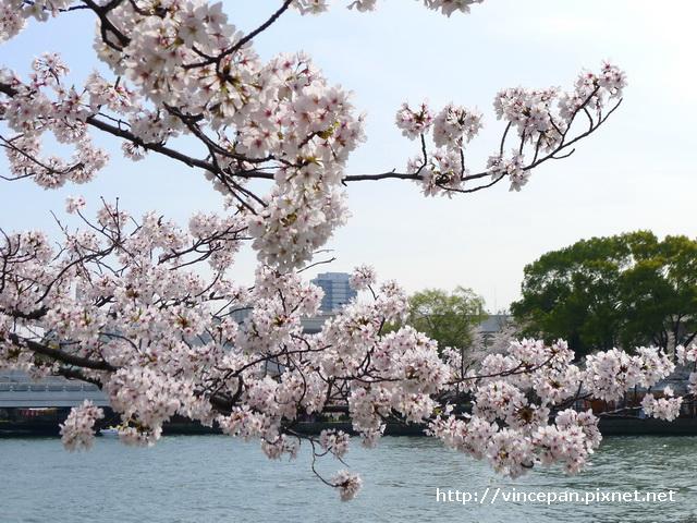 櫻花  櫻之宮4