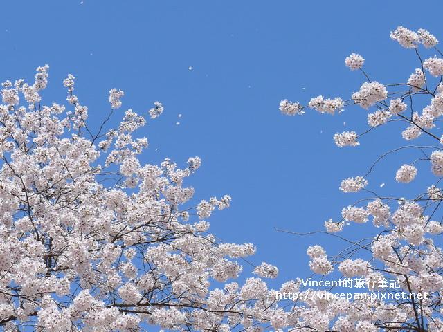 櫻花吹雪1