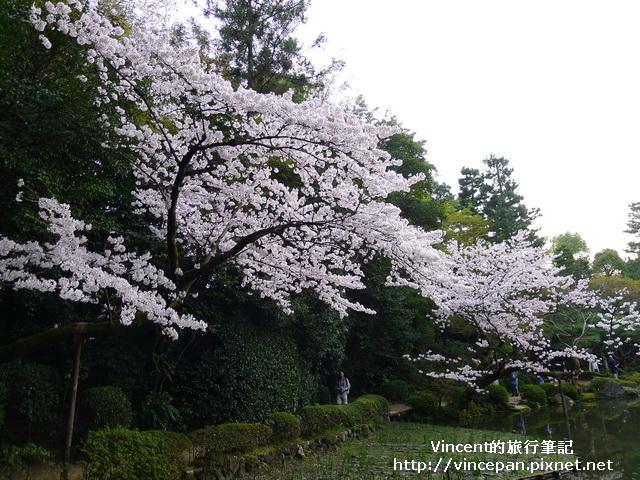 西神苑 櫻花