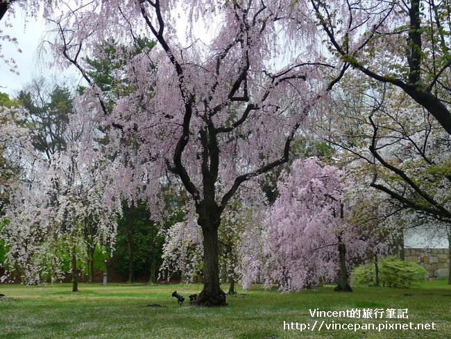 清流園櫻花1