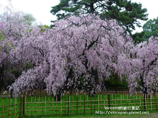 近衞邸跡櫻花1