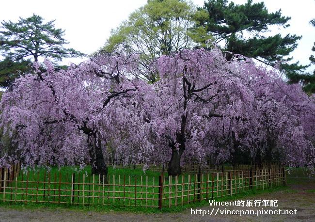 近衞邸跡櫻花2