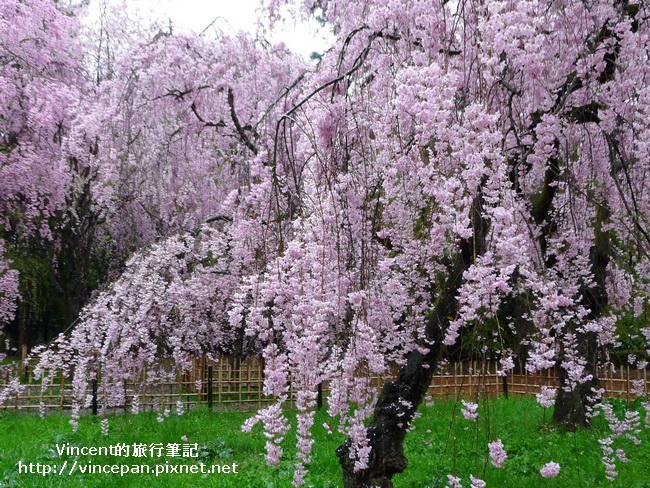 近衞邸跡櫻花4