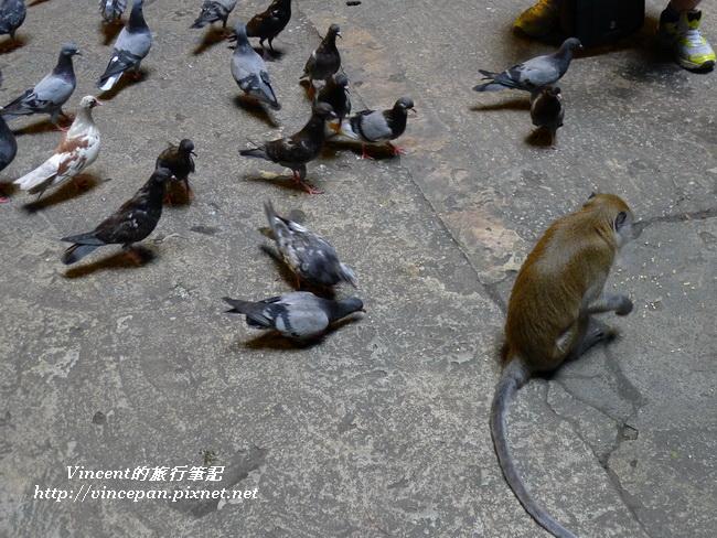 猴子與鴿子