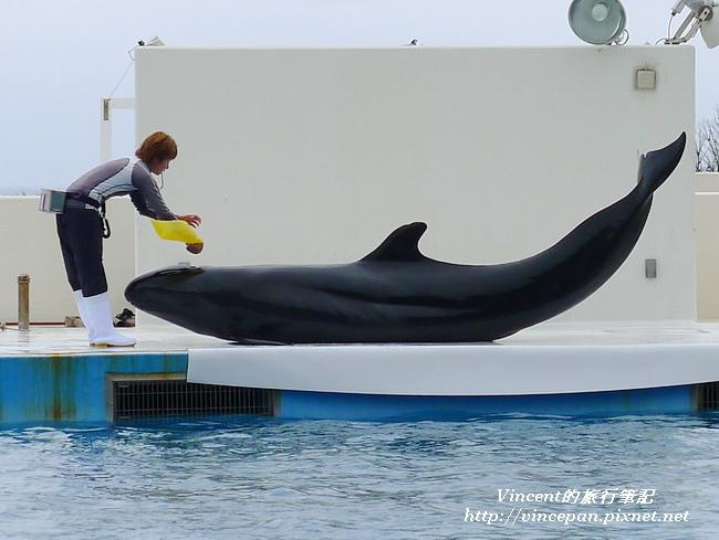 擬虎鯨吹氣球