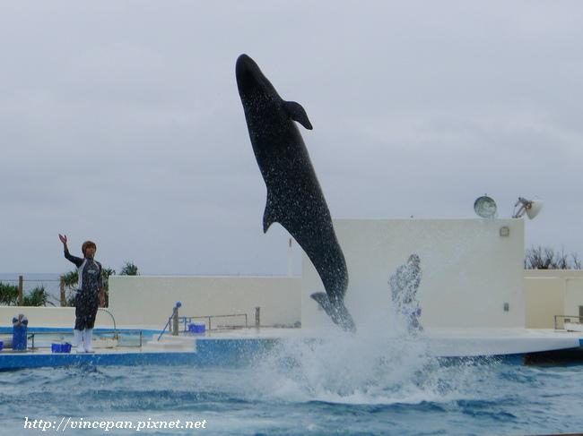 擬虎鯨跳躍