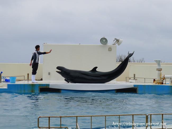 擬虎鯨  要吃魚