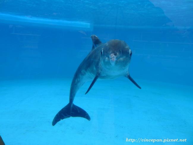 太平洋白側海豚