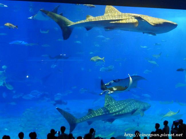 黑潮之海 鯨鯊