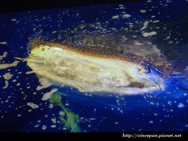 鯨鯊張嘴2