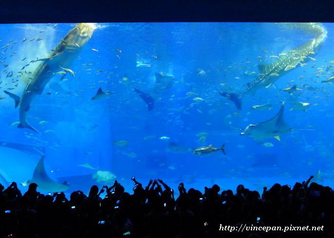 鯨鯊餵食表演