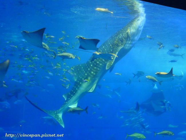 鯨鯊餵食表演2