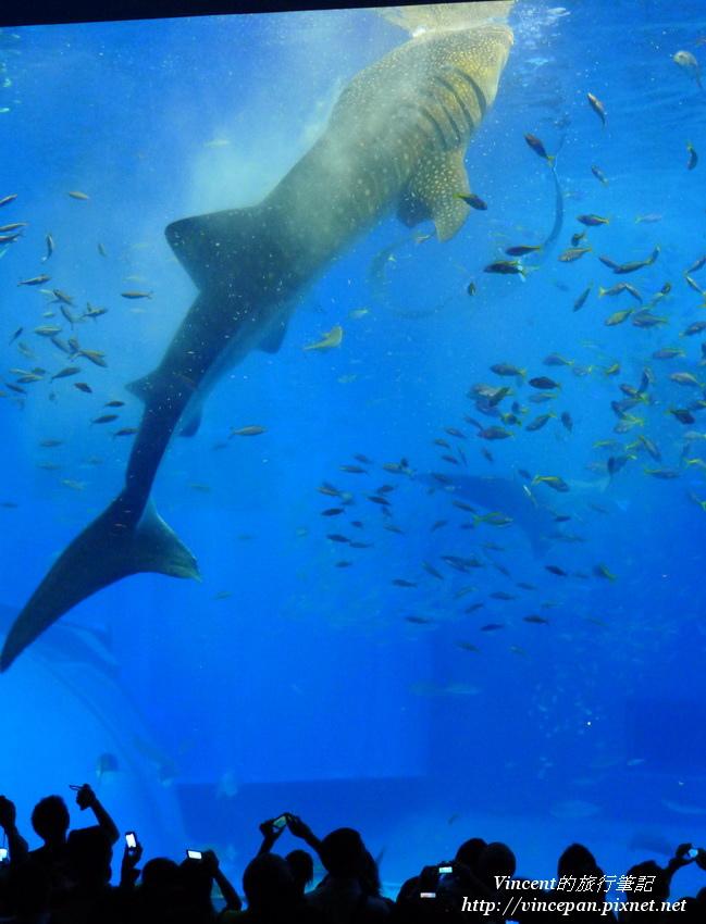 鯨鯊餵食表演3