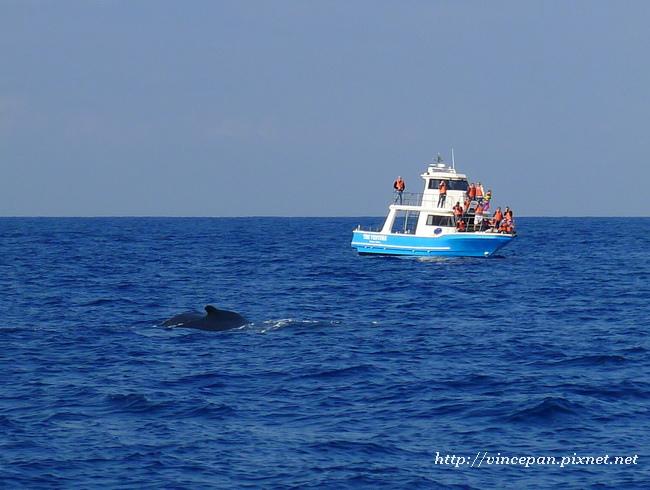 賞鯨船與鯨魚1