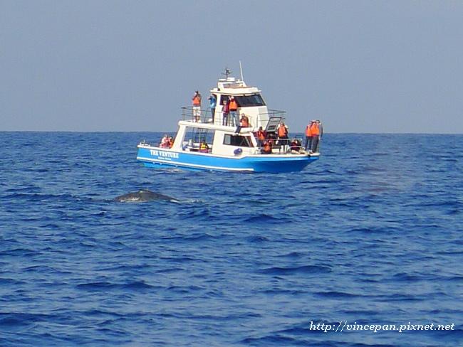 賞鯨船與鯨魚2
