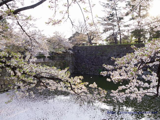 護城河櫻花2