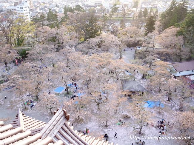 櫻花林  下看