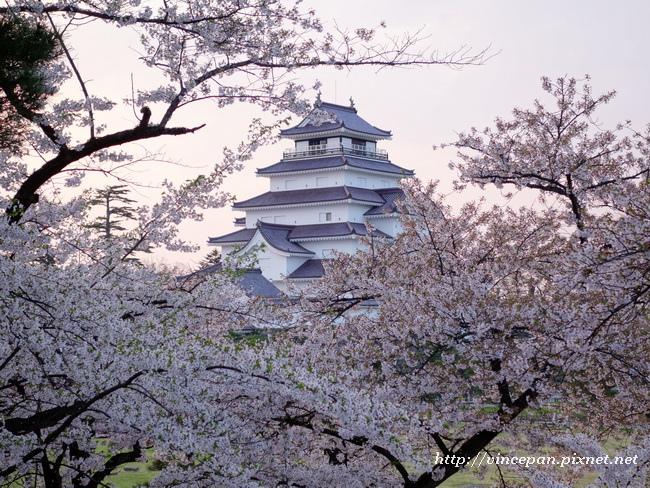 會津若松城 櫻花6