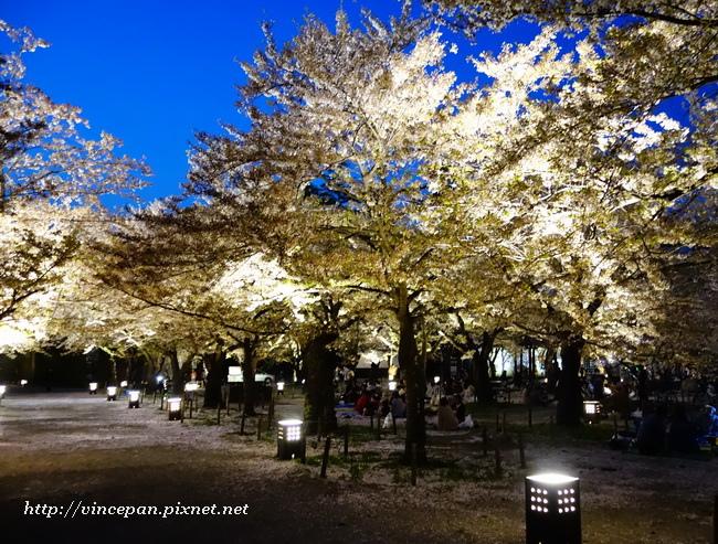 櫻花林 夜