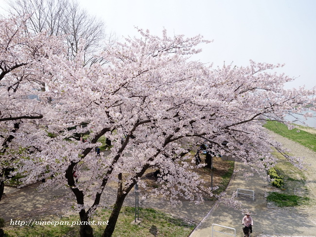 居高臨下看櫻花1
