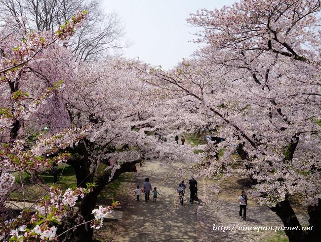居高臨下看櫻花2