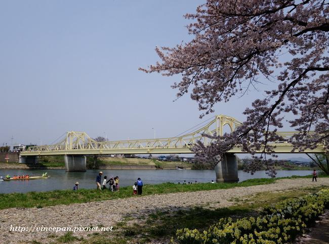 珊瑚橋 櫻花1