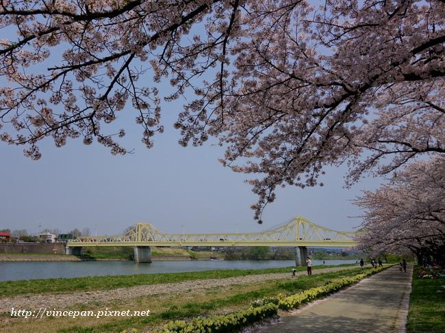 珊瑚橋 櫻花2